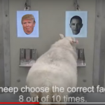 Sheep prefer Obama over Trump
